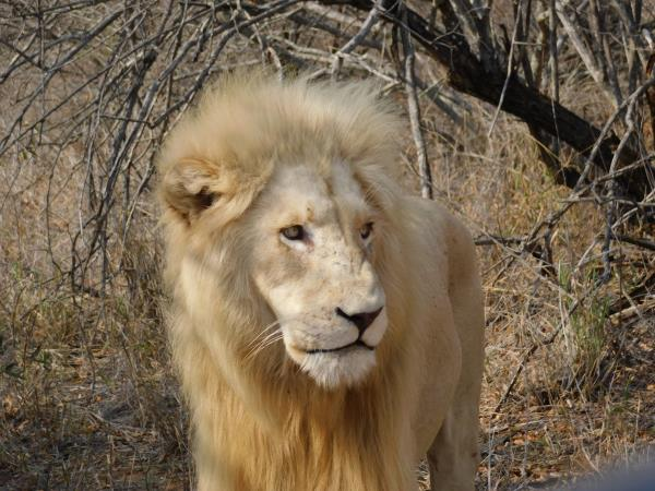 White Lion conservation volunteering in South Africa