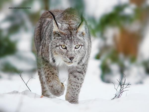 Balkan Lynx wildlife conservation holiday in Montenegro