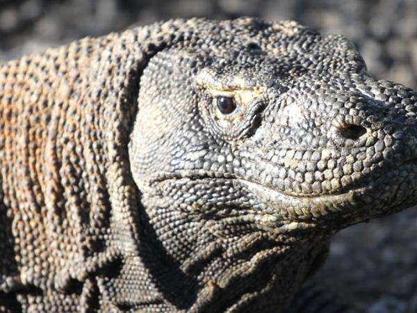 Komodo Dragon ecolodge in Flores