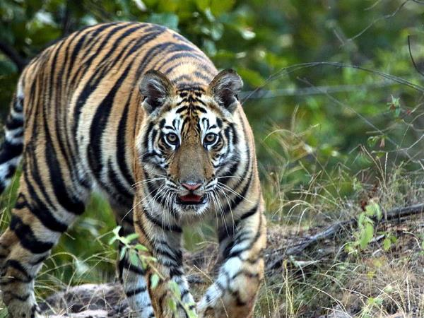Tiger safari in India, Bandhavgarh & Kanha