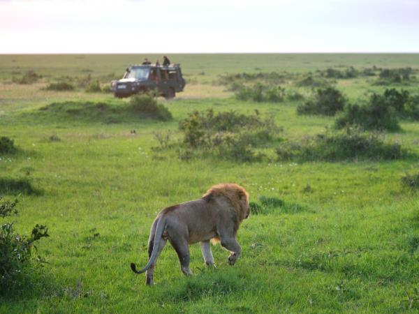 Kenya lion safari, tailor made