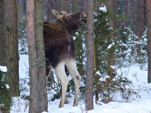 Poland winter wildlife holiday, elks, beavers & otters