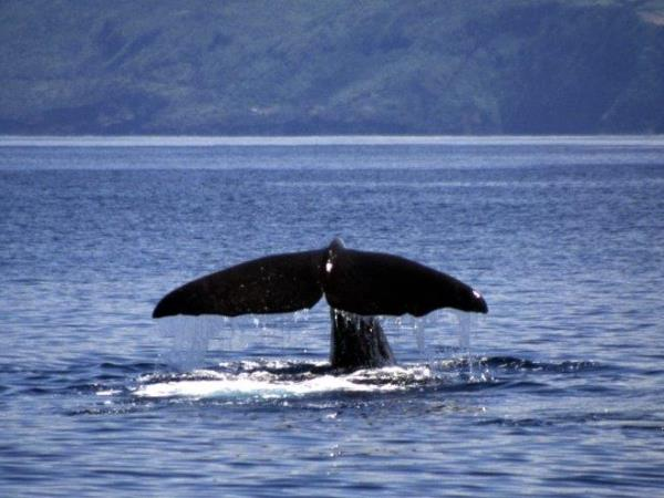 Azores conservation holiday, whales, dolphins and turtles