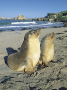Sealions at Seal Bay, South Australia. Photo by South Australia.