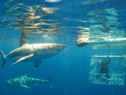 Shark cage diving, South Australia. Photo by South Australia Tourist Board