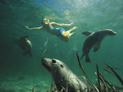 Swimming with sealions, South Australia. Photo by South Australia Tourist Board