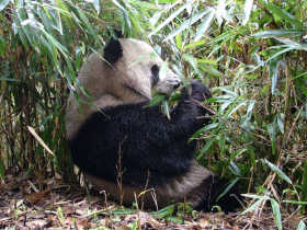 Giant Panda tracking holiday in China
