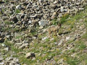 Alpine Wolf tracking holiday, France