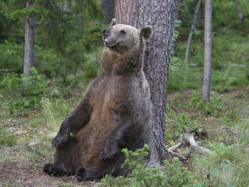 Bear watching short break in Finland