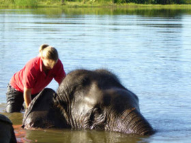 A volunteer washing one of the elephants