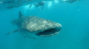 Whale shark diving holidays