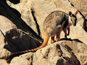 Yellow Footed Rock Wallaby, South Australia. Photos by South Australia Tourist Board