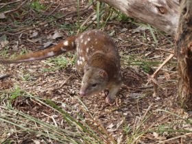 Tiger Quoll conservation holiday in Australia