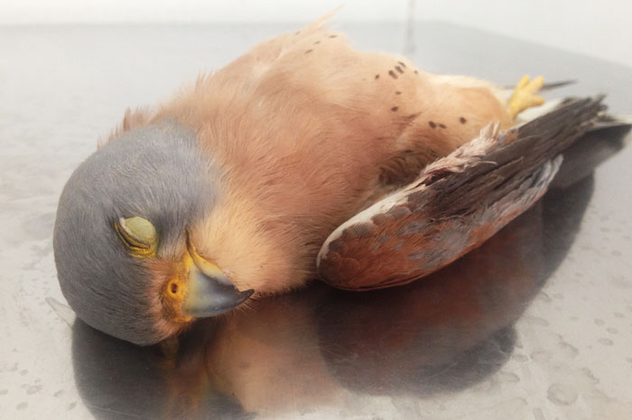 Shot Lesser Kestrel