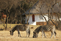 Zebra, Wildlife tourism in Kenya
