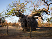 Baobab prison tree, Derby at end of the Gibb River Road. Photo by Nick Haslam