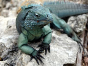 Blue Iguana, Cayman Islands. Photo by Cayman Islands Tourist Board