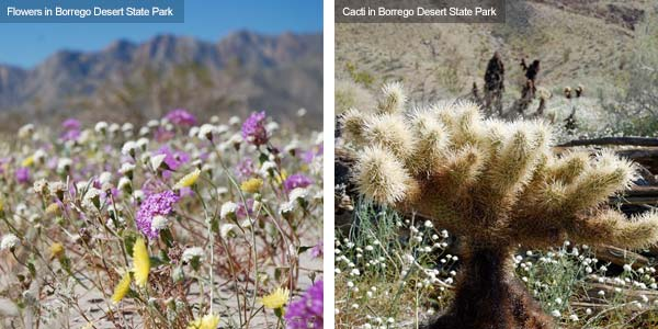 Flowers and cacti in Borrego Desert State Park