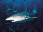 Caribbean Reef Shark, Cayman Islands. Photo by Cayman Islands Tourist Board