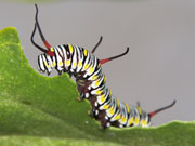 Caterpillar, Cayman Islands. Photo by Cayman Islands Tourist Board
