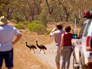 Emus crossing the road, South Australia. Photo by South Australia