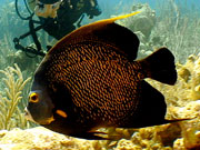French Angelfish, Cayman Islands. Photo by Cayman Islands Tourist Board