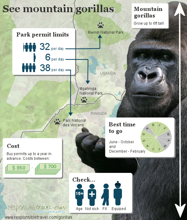 Mountain gorillas infographic