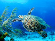 Green turtle, Cayman Islands. Photo by Cayman Islands Tourist Board