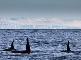 Killer whales and Northen lights holiday in Iceland