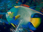 Queen Angel fish, Cayman Islands. Photo by Cayman Islands Tourist Board