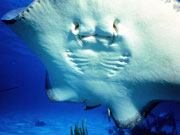 stingray, Cayman Islands. Photo by Cayman Islands Tourist Board