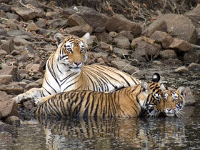 Tailor made tiger safari in India