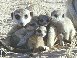 Meerkats on South Africa tour