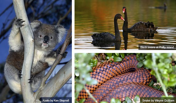 Koala, swans and snake, Victoria. Photos from Victoria Tourist Board