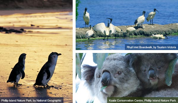 Penguins, wader birds and koalas, Victoria. Photos from Victoria Tourist Board