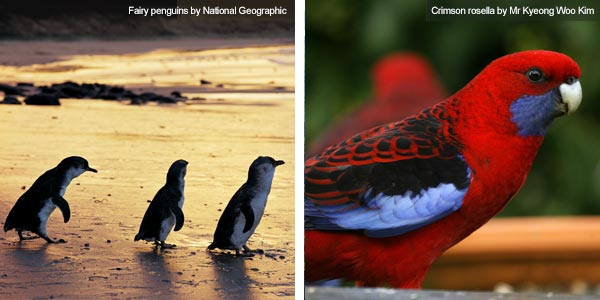Fairy penguins and crimson rosella, Victoria. Photos by Victoria Tourist Board