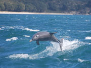 Wild dolphin jumping in Rockingham, Western Australia. Photo by Richard Madden